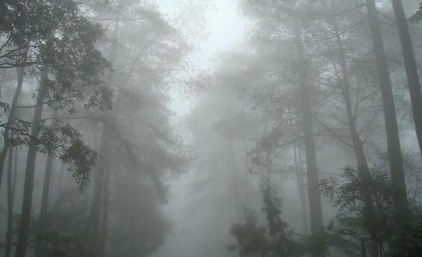 pohon-kabut